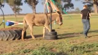liberty donkey agility - (horse agility)