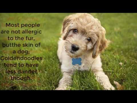 Golden doodle dog information