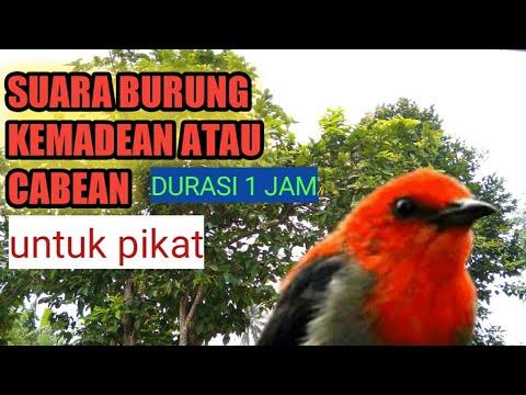 Download Suara Pikat Burung Kemadean Atau Cabe Cabean Full mp3