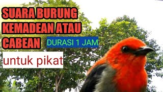 Download Mp3 Suara Pikat Burung Kemadean Atau Cabe Cabean Full Mp3