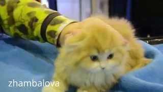 Шотландский полудлинношерстный Хайленд страйт котенок похож на Джинджера  - ВДНХ