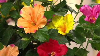 Cottage Farms Tutti Frutti Hibiscus Patio Tree with Carolyn Gracie