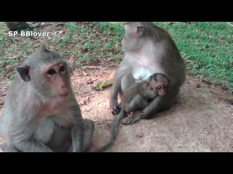 Amber Cry Because Momy Doen't Care About Him, Baby Monkey Cry For Grooming