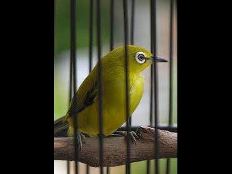Tips Cara Memilih Burung Pleci Ombyokan Yang Bagus Serta Berkualitas ad7955b260