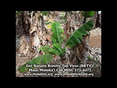 (3 minute video) How to Treat Banana Bunchy Top Virus