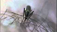 Hyttynen pistää