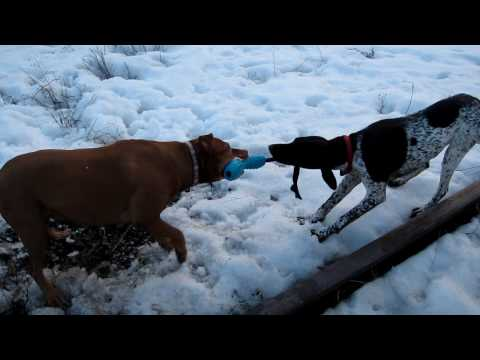 Pit bull vs German Shorthaired Pointer Tug-a-war