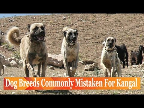 Dog Breeds Commonly Mistaken For Kangal