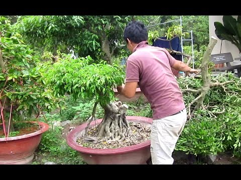 How To Make A Big Bonsai Tree Shape Youtube