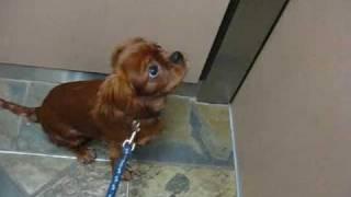 Teko, The Ruby Cavalier King Charles Spaniel Pup, In An Elevator
