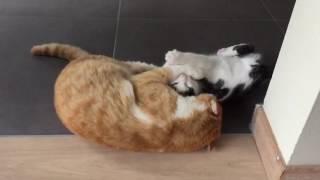 Slow Motion Cat Vs Kitten Fight - Double Body Slam
