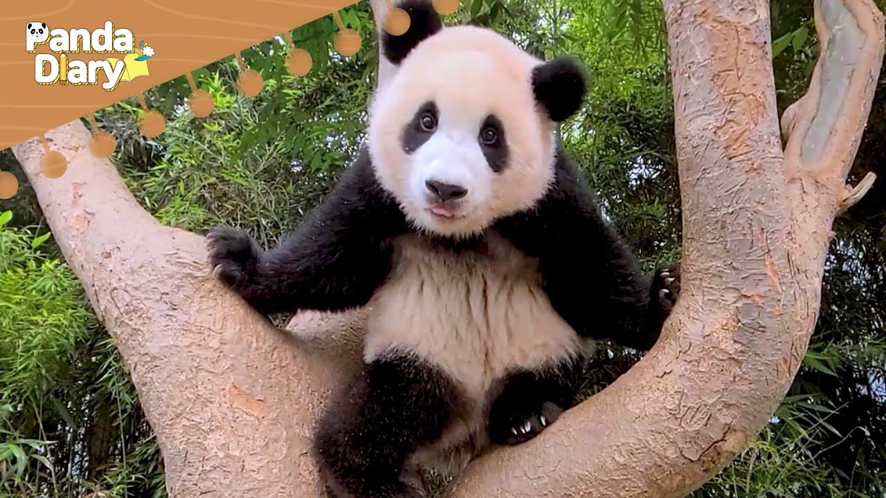 #푸바오 의 슬기로운 추석 보내기! | 에버랜드 판다월드 (Baby Panda 'FuBao') [판다다이어리] (ENG Sub)