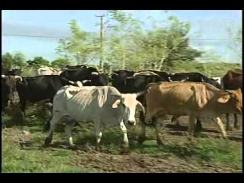 Cooperativa camagüeyana alcanza el millón de litros de leche