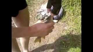 Как мы ловили карпа.