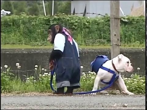 Phim hài Nhật Bản - Chó & Khỉ thông minh phần 1 - Tập 1 [HD] (13:18 )