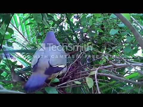 suara burung punai pemikat