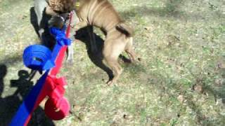 Shar Pei Fighting--sotos Cookie & Monster