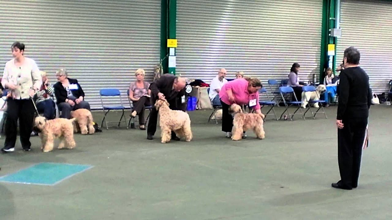 Soft Coated Wheaten Terrier Best Of Breed Winner Www Wonderfulwheatens Co Uk