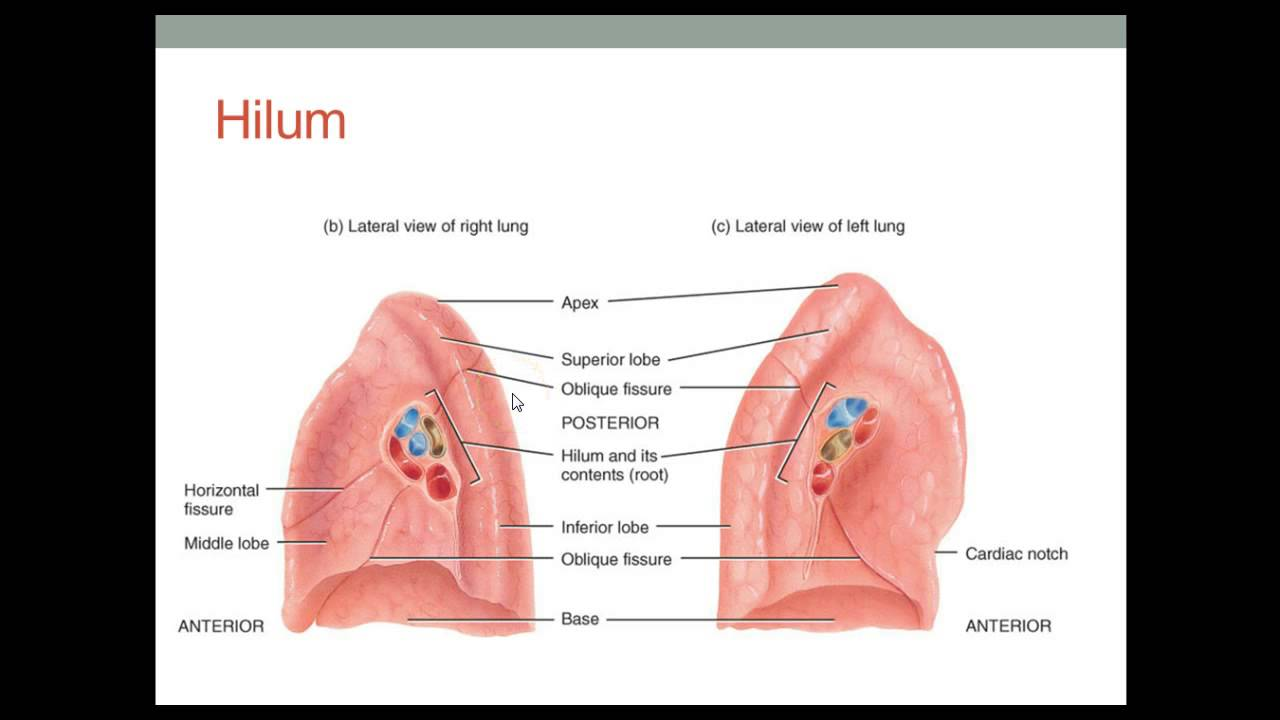 Lung Structure - YouTube