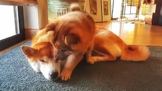 仲が良すぎる柴犬の母娘。甘えまくる仔犬と優しく受け入れる母犬の姿が可愛すぎる!