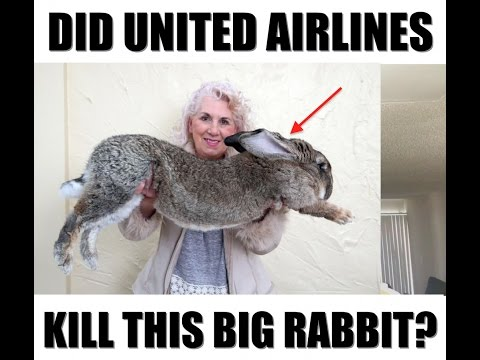 Did United Airlines Kill This Giant Rabbit?