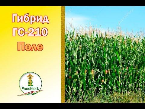 6 дек 2016. Как правильно выбрать семена сладкой кукурузы (бондюэль).