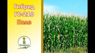 Кукуруза ВУДСТОК. Гибрид ГС 210.  ФАО 210.