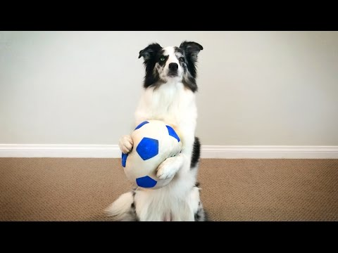 Splash the Border Collie Performs the Most Epic of Dog Tricks!