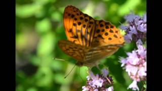 Schmetterling ƸӜƷ  Der Kaisermantel HD1080 ๑The Silver-washed Fritillary