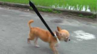 すももと散歩 small Chihuahua Sumomo