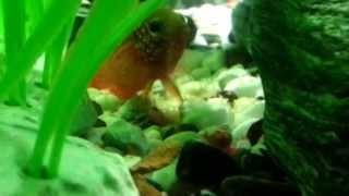 Моя рыбка отложила икру (Hemichromis lifalili)