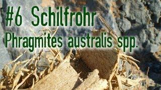 Outdoor Survival Doku: Schilfrohr Phragmites australis spp.