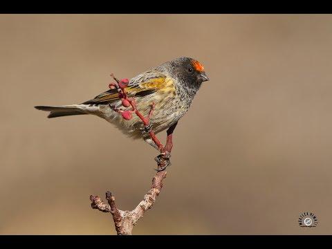 Download Lagu Suara Ocehan Burung Kenari Red Front serin Atau KENARI dahi Merah, ngeroll Lama untuk Pancingan
