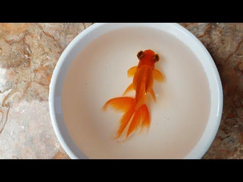 fakta-unik-ikan-mas-koki-bali-si-ikan-hias-sang-raja-/-facts-of-balinese-goldfish-you-should-to-know
