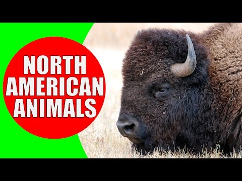 North American Animal for Kids - Animal Sounds from the Wildlife of North America
