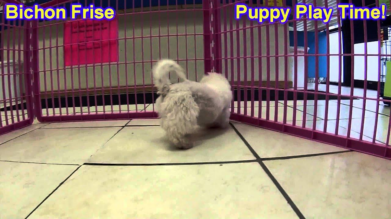 Bichon Frise, Puppies, For, Sale, In, Portland, Oregon, OR, McMinnville,  Oregon City, Grants Pass, K