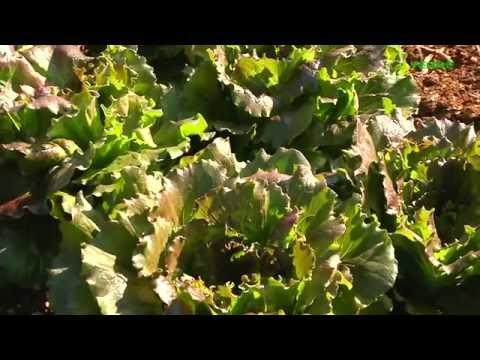 www.verdetv.tv---raccolta-insalata