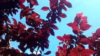 Встречаем лето бордовой листвой.