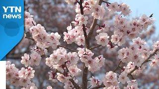 [날씨] 활짝 핀 서울 벚꽃...따뜻하지만 초미세먼지↑…