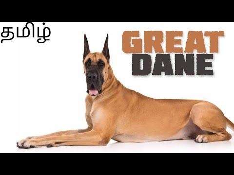 Great Dane dog breed details | Tamil