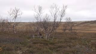 2016 09  Gordon Setter East Vesta hunting Kola Penisula    Охота на белую куропатку