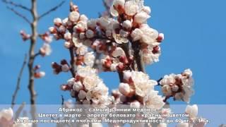 Обучение пчеловодству урок № 4 - Медоносные  растения