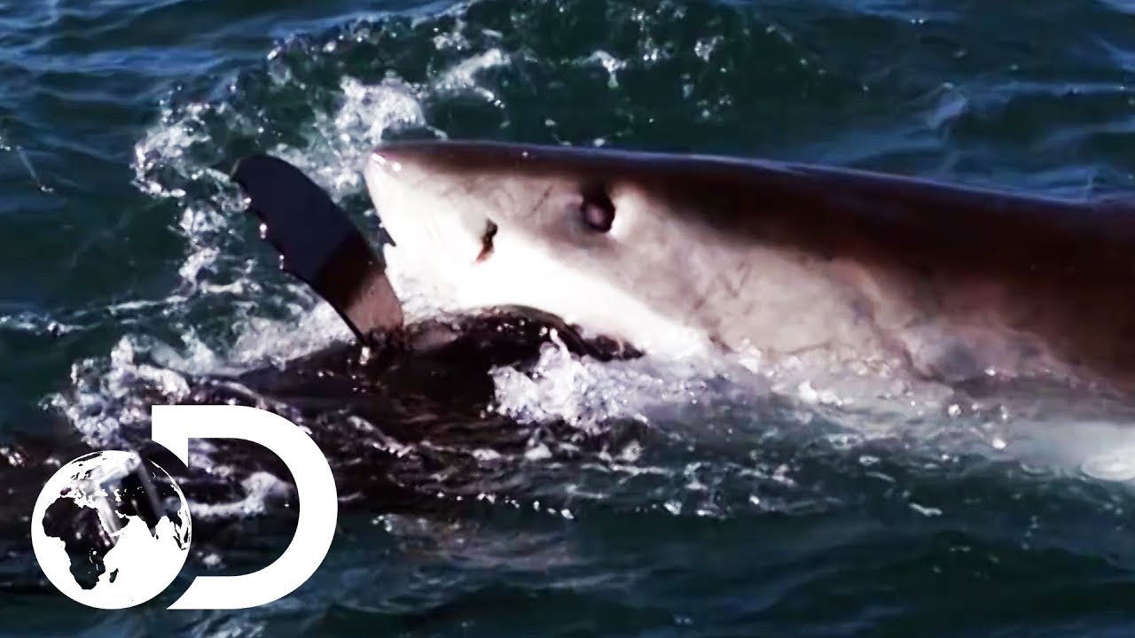How The World's Deadliest Sharks Hunt For Prey | Shark Week 2019 |  Discovery UK