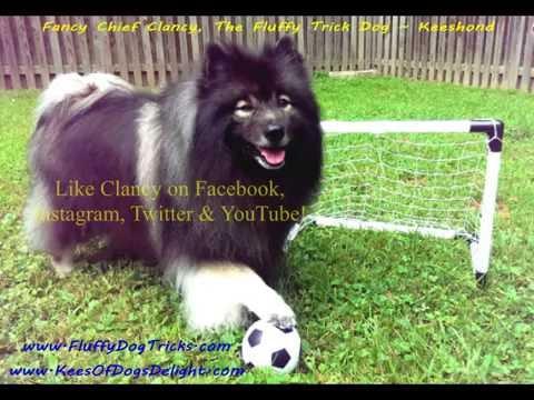 GOOOOAL!  Fluffy Dog's Soccer (Football) Goal & Celebration - Clancy the Keeshond