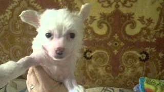 Щенков китайской хохлатой собаки предлагает питомник в Мурманской области