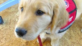 Service Puppy In Training Visits The Uso! (vlog 21)