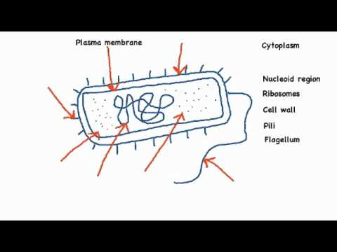 2 2 1 draw and label a diagram of the ultrastructure of ecoli as an2 2 1 draw and label a diagram of the ultrastructure of ecoli as an example of a prokaryote