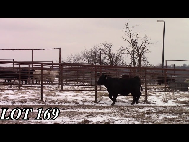 Mead Angus Farms Lot 169