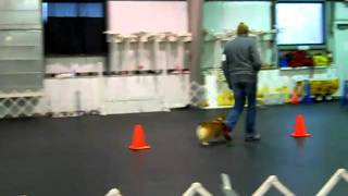 Akc Rally Nov A - Pembroke Welsh Corgi