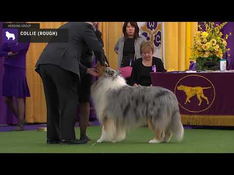 Collies Rough | Breed Judging 2020